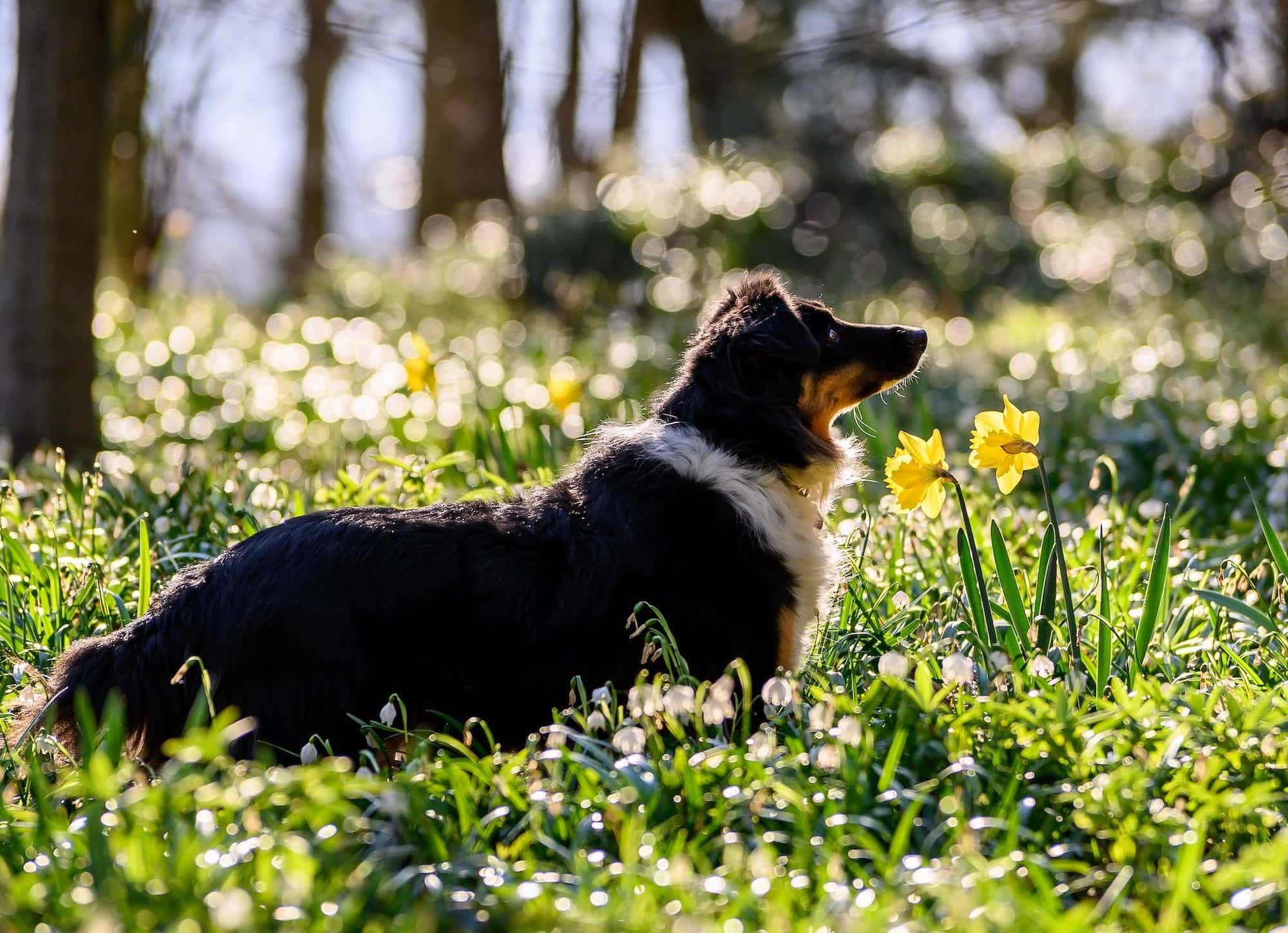 A dog walking in the woods amongst daffodils