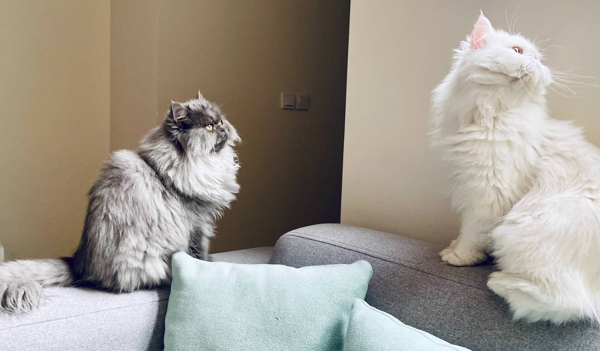 two Persian cats sitting on a sofa