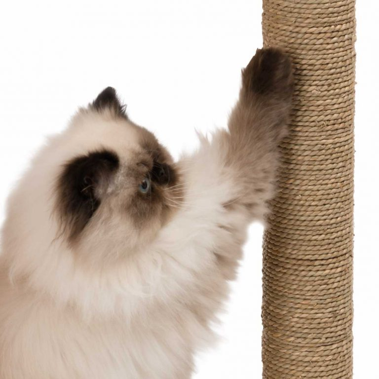 Ragdoll cat scratching a sisal scratch post