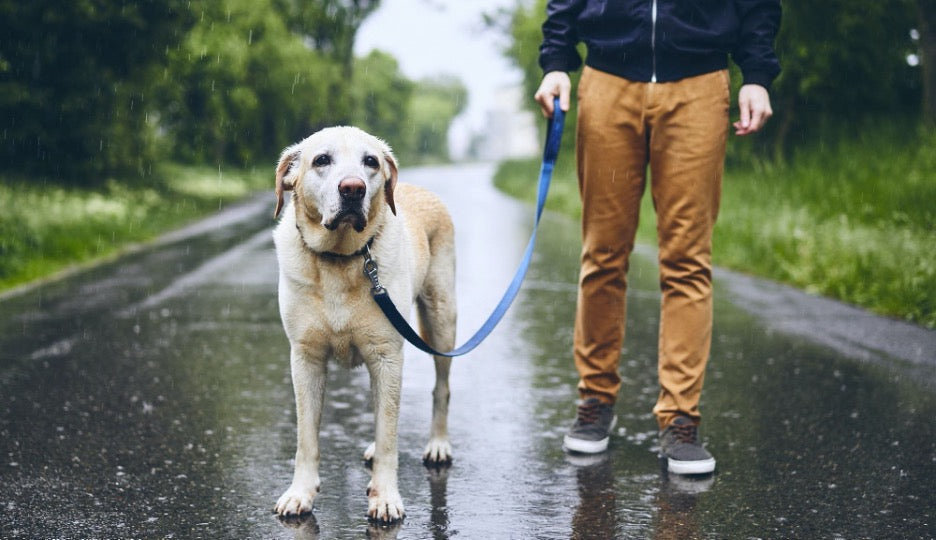 A male dog owner walking his labrador in the rain.
