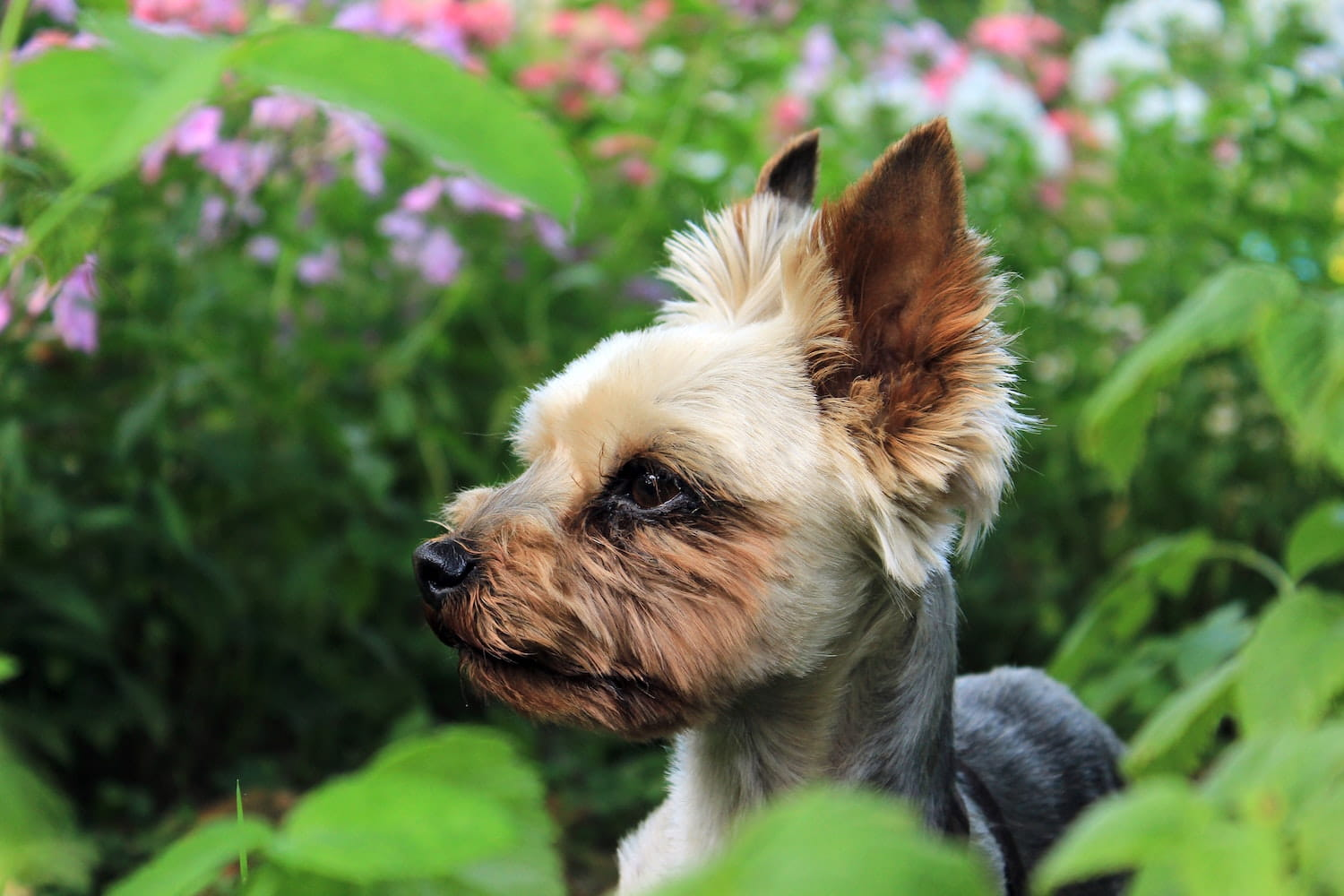 A Yorkshire Terrier outside in a garden of flowers