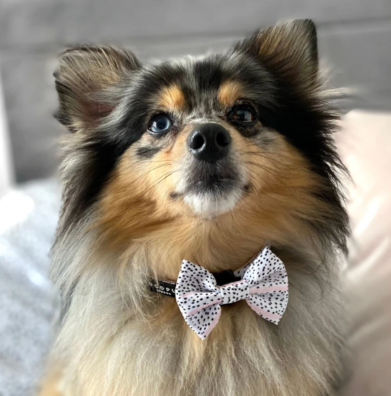 Dog wearing a Cocopup London bow tie in blush Dalmatian