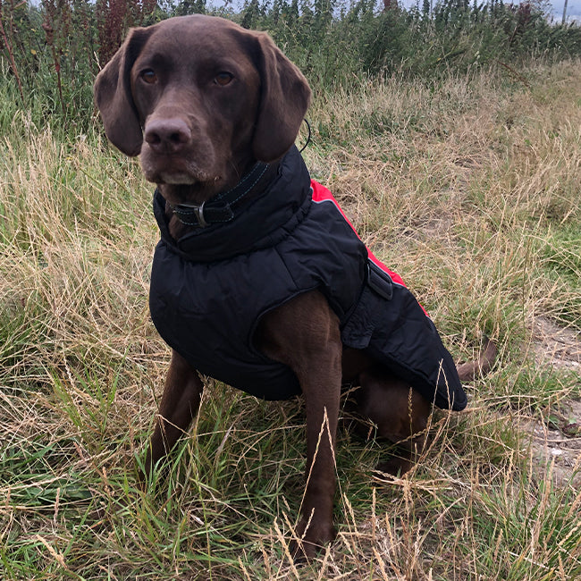 Labrador wearing a Danish Design Sports Luxe Dog Coat in red