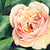 Peach Rose Art Print