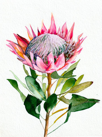 Protea Watercolor Art Print