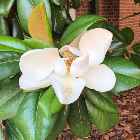 Magnolia leaves and a large white blossom fill the center of the photo. Part of a brick building is visible in the upper-right background.