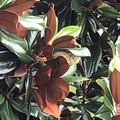 Coppery-brown and green magnolia leaves frame and partially hide a magnolia blossom.
