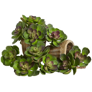 "5"" Echeveria Succulent Plant (Set of 12) - Green/Burgundy"