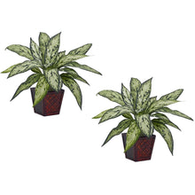 Load image into Gallery viewer, Silver Queen Silk Plant (Set of 2)