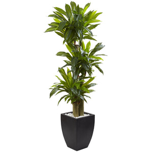 5.5' Corn Stalk Dracaena with Black Wash Planter