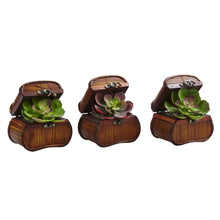 Load image into Gallery viewer, Echeveria in Chest (Set of 3)