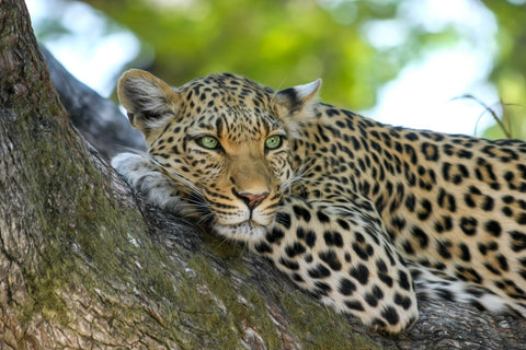 Amur Leopard atop a tree branch, camouflaging