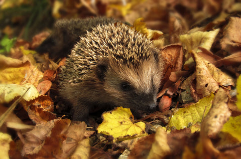 hedgehog nesting with autumn leaves