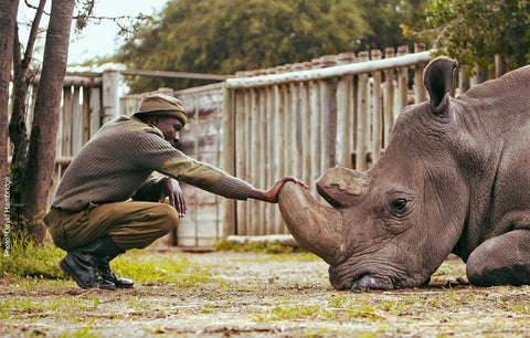 A person from the Helping Rhinos charity petting a rhino sitting on the floor, with its head resting on the ground