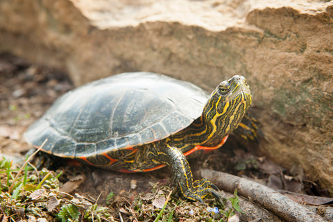 painted turtle crawling on land