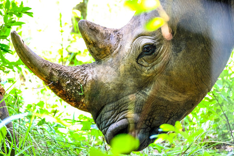 Two-horned rhino leaning down into vegetation for food
