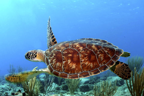 sea turtle with red coloured shell swimming underwater