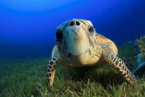 sea turtle underwater, front view with nose