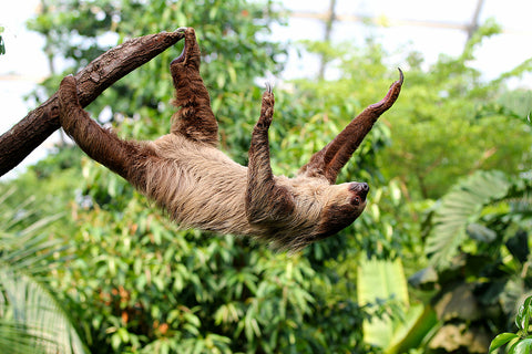 sloth hanging off a tree with its feet, at an incline, reaching up to the other side of the branch with their hands, effectively standing upside down on a rainforest tree branch