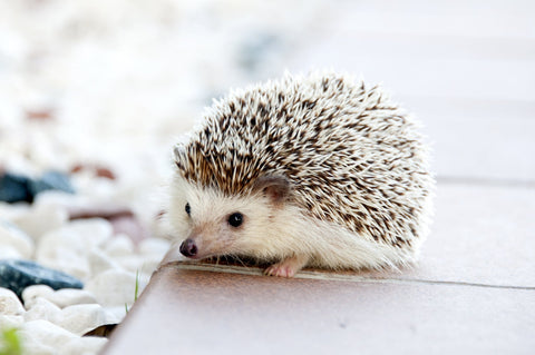 little tiny african pygmy hedgehog on wooden table next to flowers