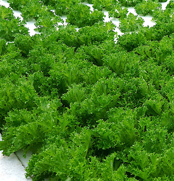 Green Sweet Crisp (>5 oz - Mild Endive)