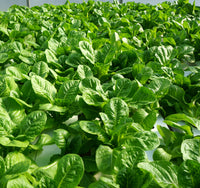 Romaine Leaf Harvest (10 oz)