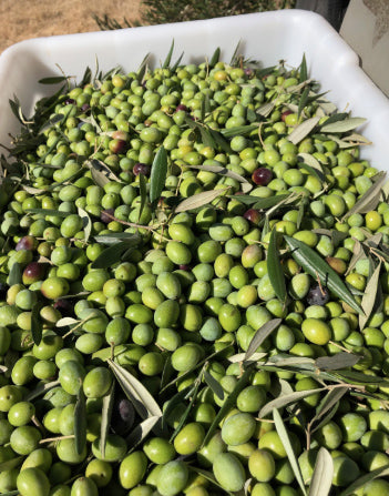 Benefits of High Polyphenol Olive Oil