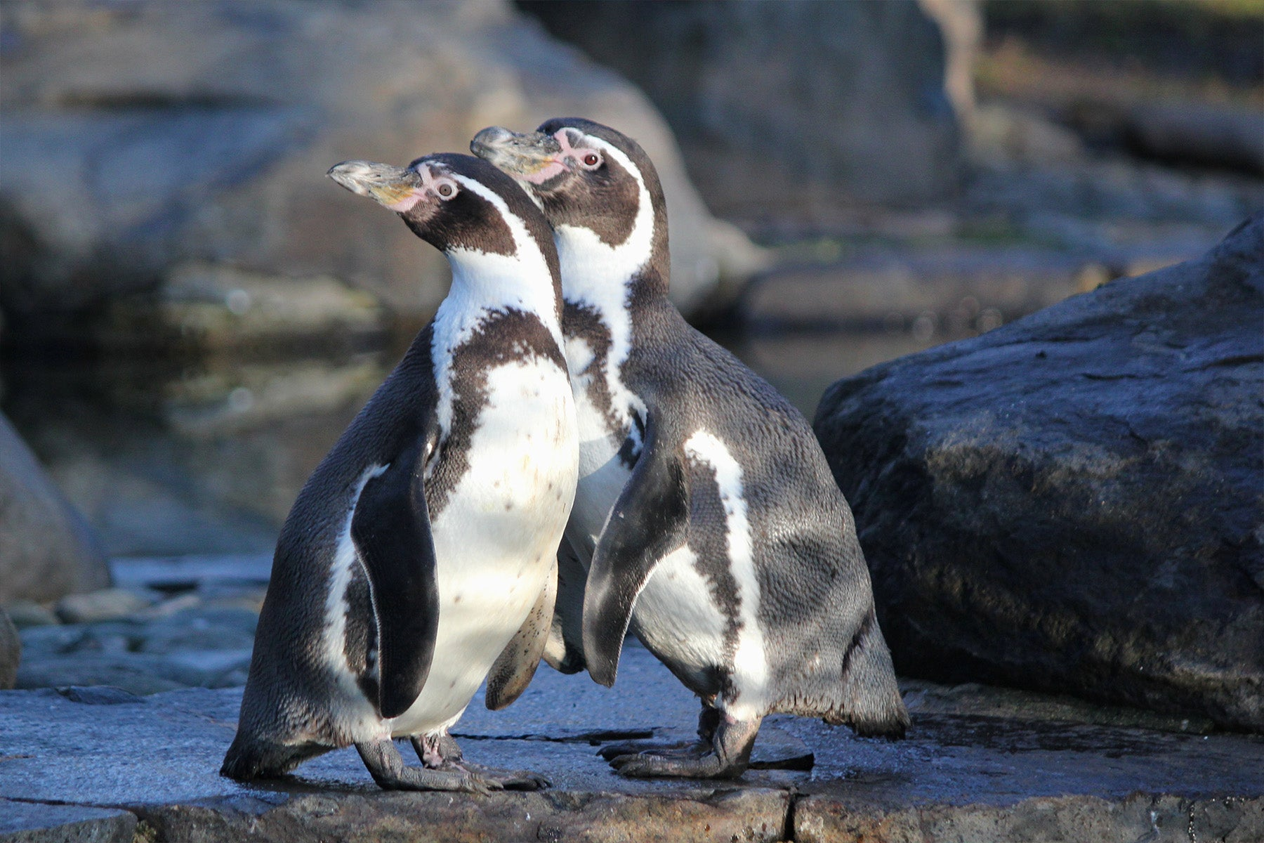 London Zoo Gay Penguins Celebrate Pride | Photo by Dušan Smetana on Unsplash