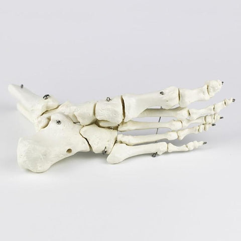 Foot Joint Anatomical Skeleton Model Human Medical Anatomy