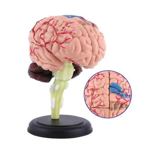 4D Disassembled Anatomical Human Brain Model