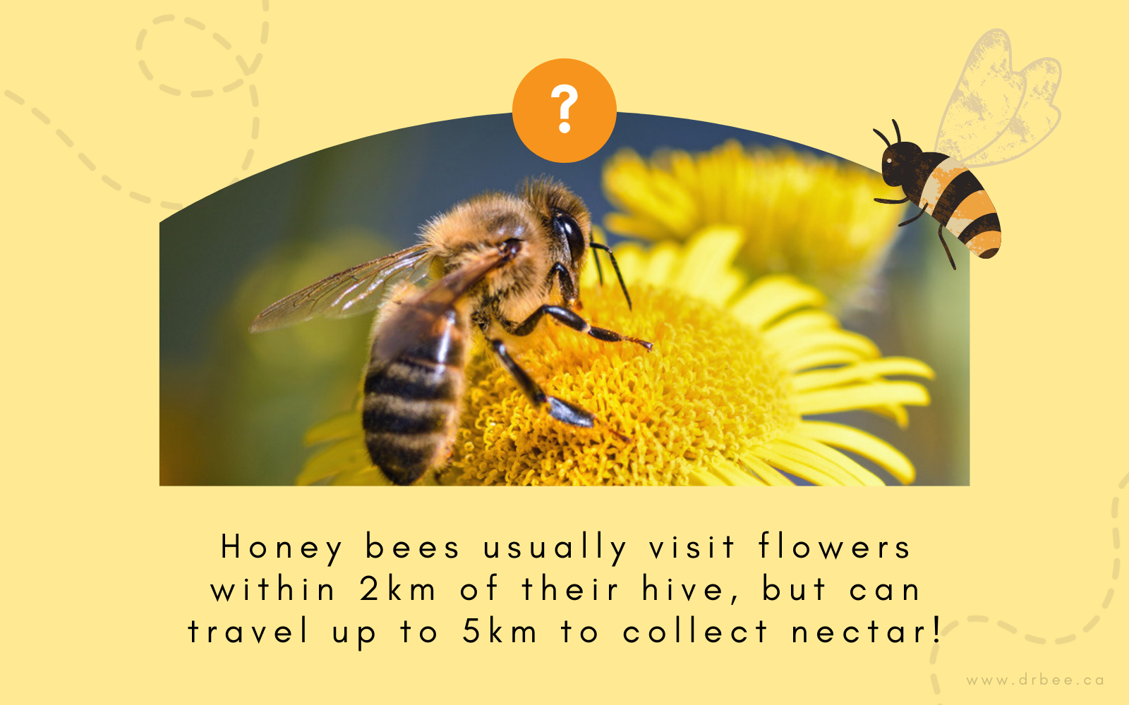 Honey bees usually visit flowers within 2km of the hive, but can travel up to 5km to collect nectar!