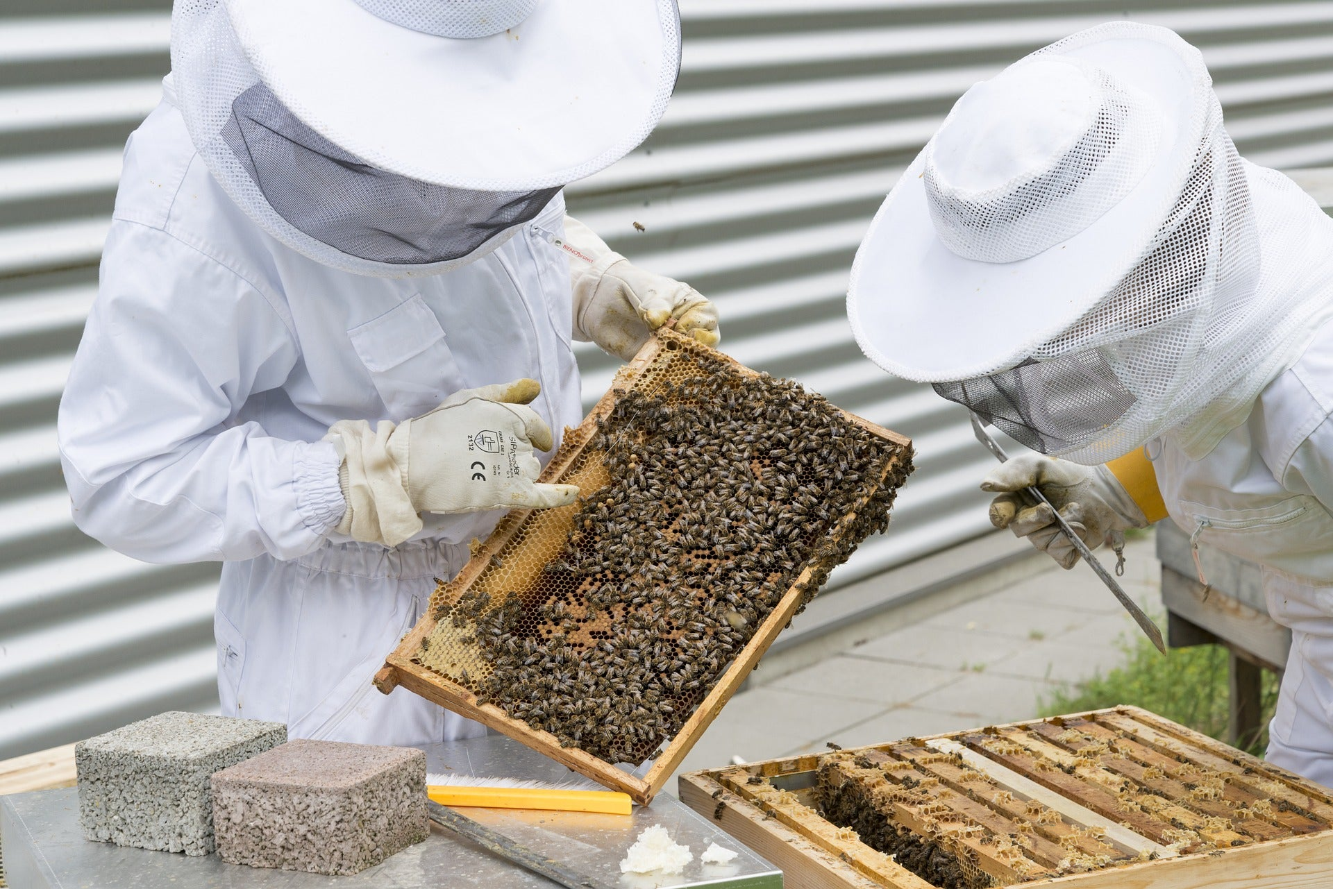 two beekeepers looking at beehive frame