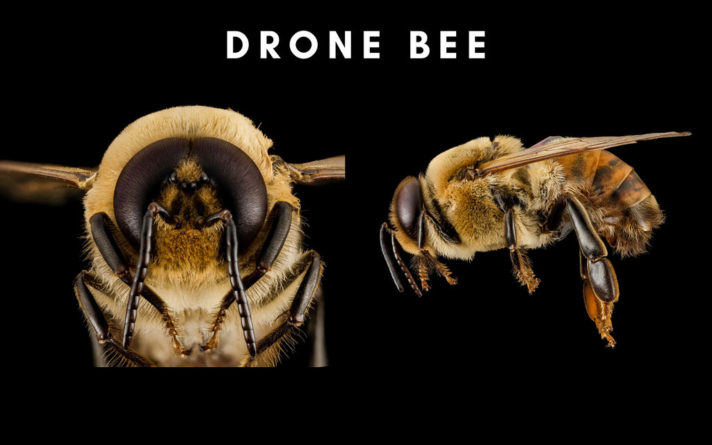 Drone bee detail face and side body