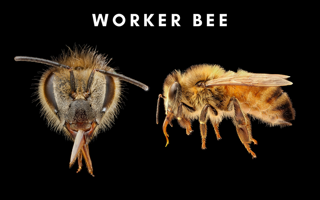 Worker bee detail of face and side body