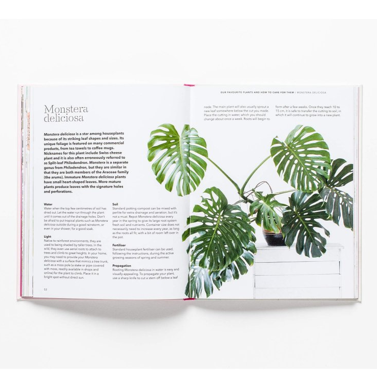 How to raise a plant monstera deliciosa spread