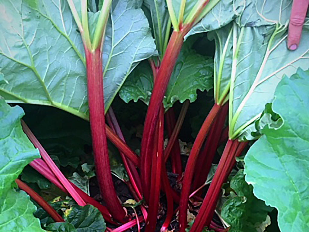 Rhubarb growing at Kevin Duyck Farm, an Oregon Growers supplier