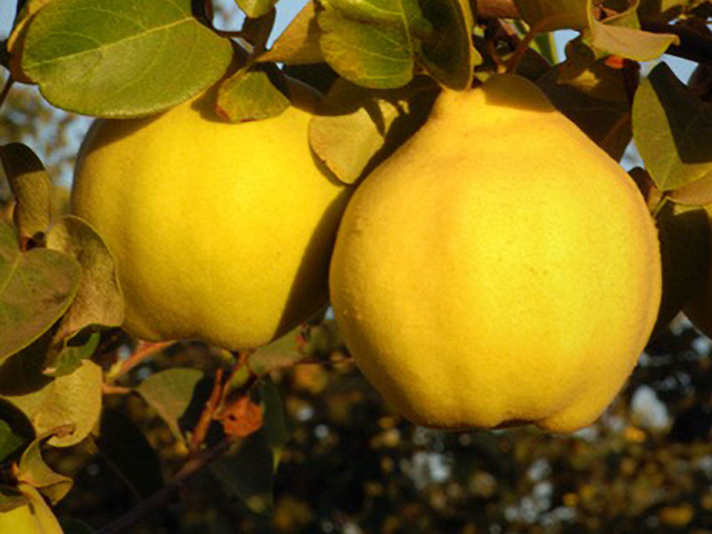 Yellow fruit on tree, Oregon Quinces Farms, an Oregon Growers supplier