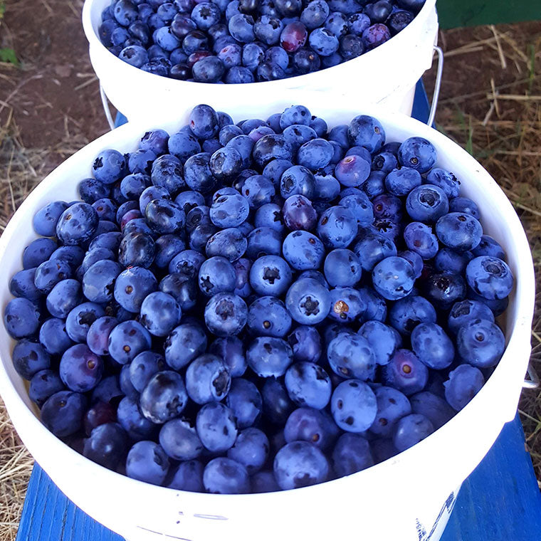 A bucket of ripe Oregon blueberries
