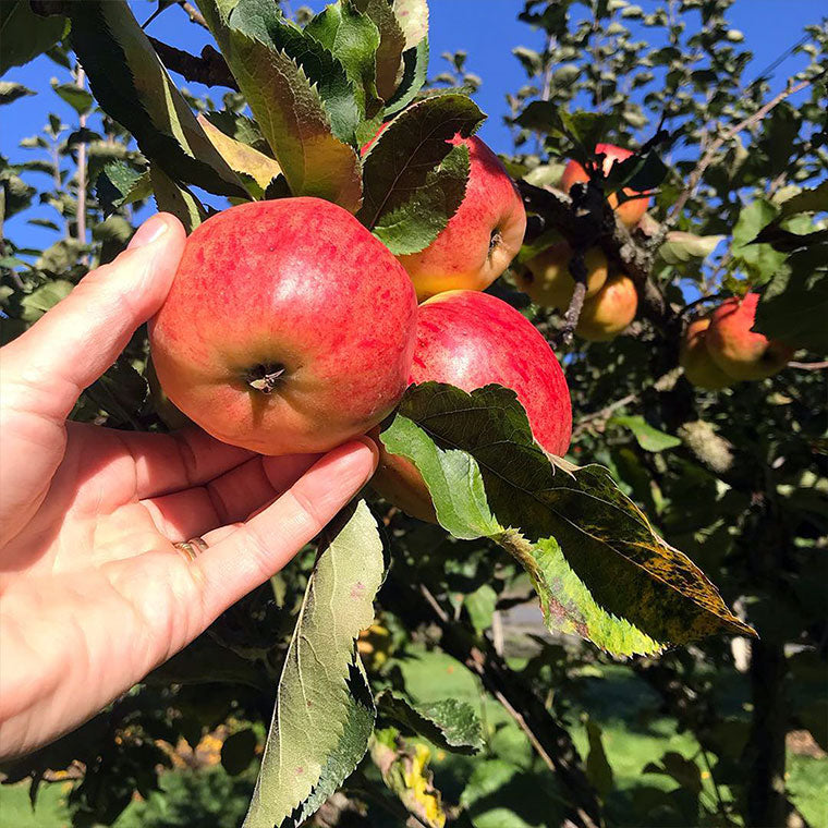 Apple picked fresh from the tree in Hood River, Oregon