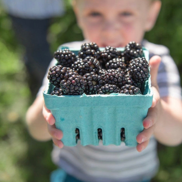 Child holding pint of marionberries