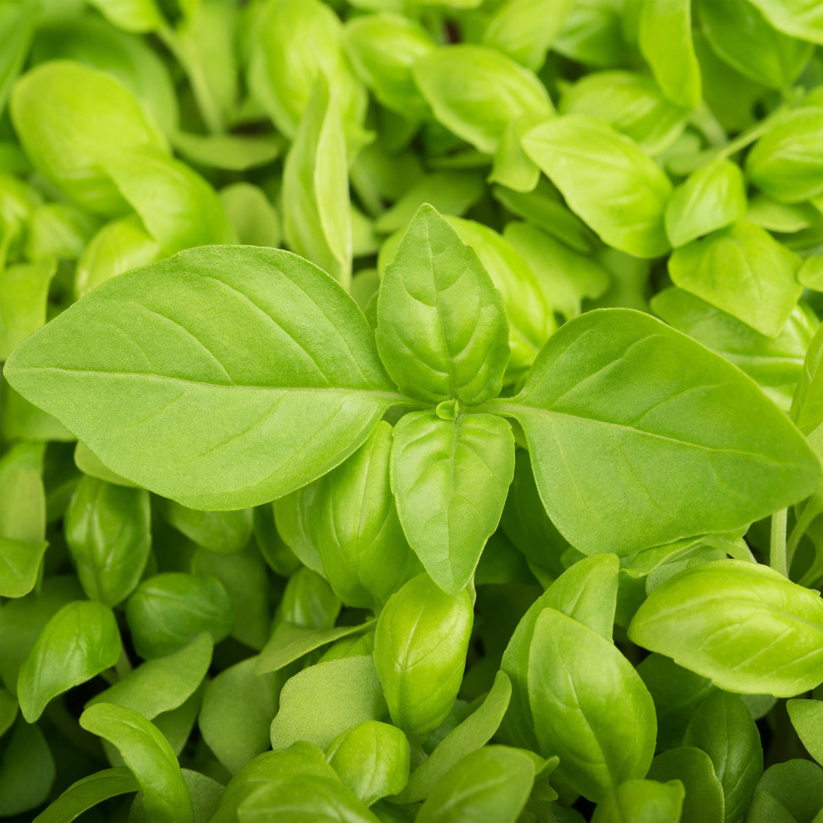 Lemon - Basil
