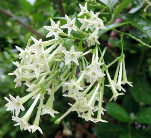 Night Blooming Jessamine (Cestrum Nocturnum)