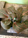 Fittonia - Pink 2""