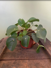 "Pilea Peperomides ""Chinese Money plant"""