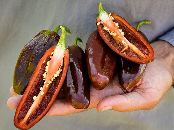 Brown Jalapeno