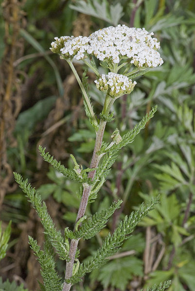 Yarrow - White