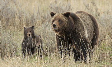 Climate Change is Decimating Forests and Endangering Grizzly Bears