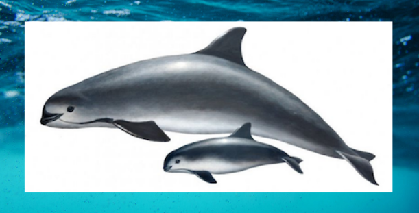THE Most Endangered Marine Mammal: Only 22 Vaquitas Left.