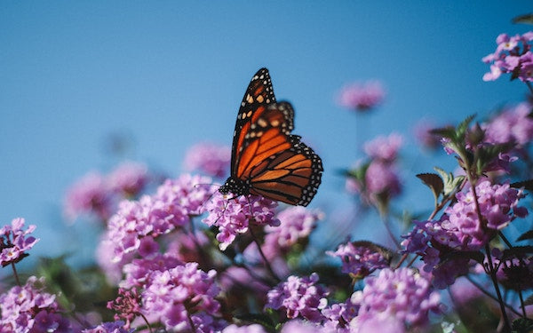 Planting Milkweed To Help Save Monarch Butterflies