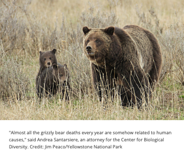 Yellowstone grizzly bear and cub